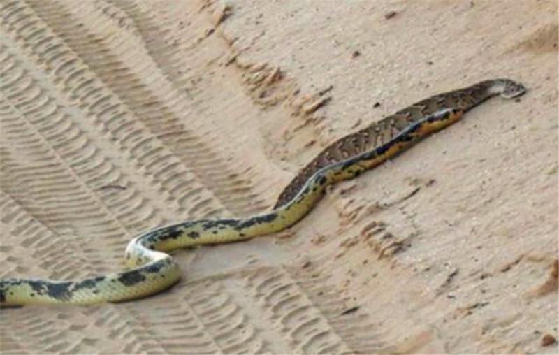 两条蛇在沙漠上面互相撕咬起来,幸亏最后分开了,要不然差点丧命