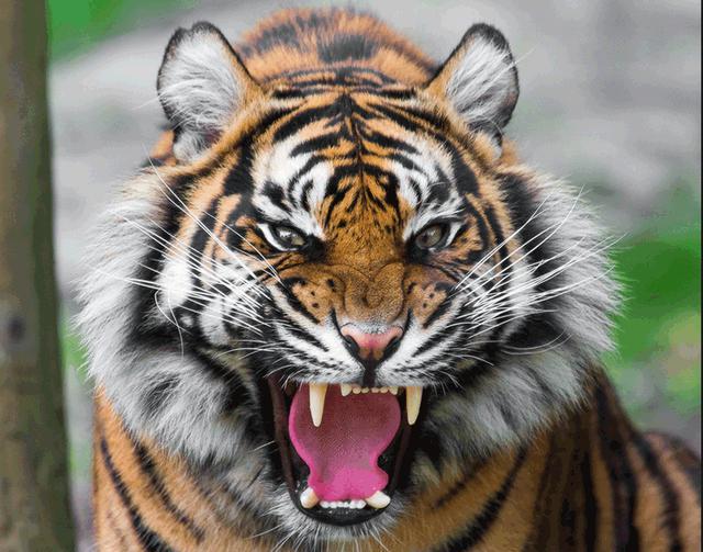 森林里什么动物最厉害 老虎、狮子、熊、豹子、狼谁厉害