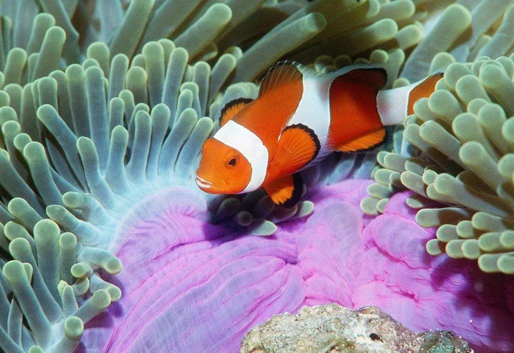 海底总动员之小丑鱼