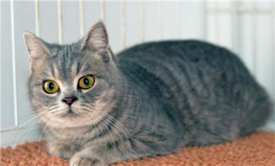 怎么分辨家猫和宠物猫图片