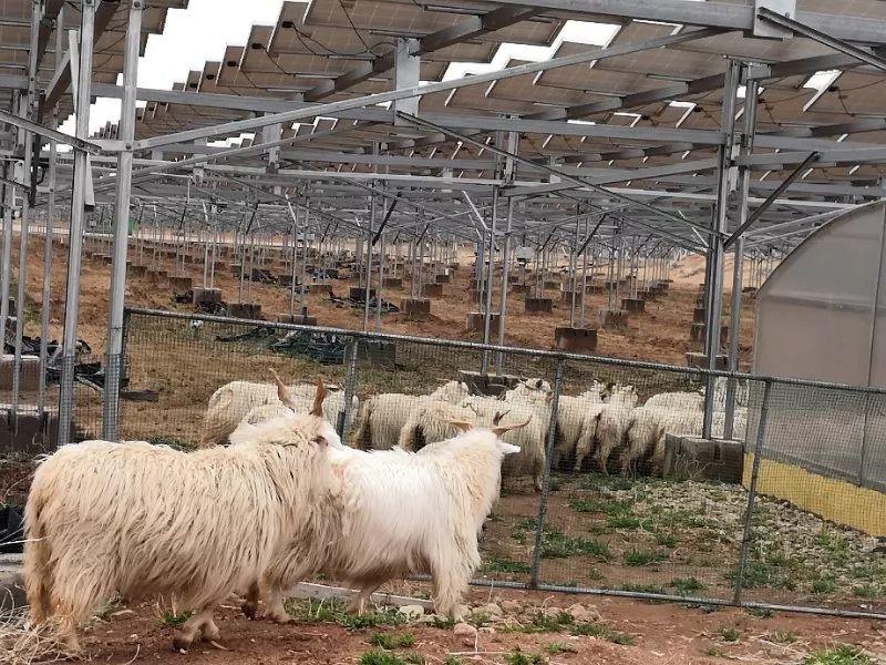 他们在沙漠里的光伏种草、放羊、赚钱
