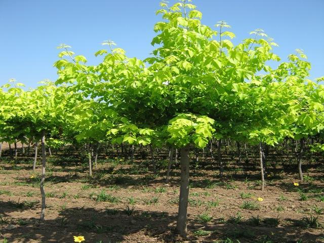 速生楸树种子价格|大量需求楸树种子|楸树是如何育苗