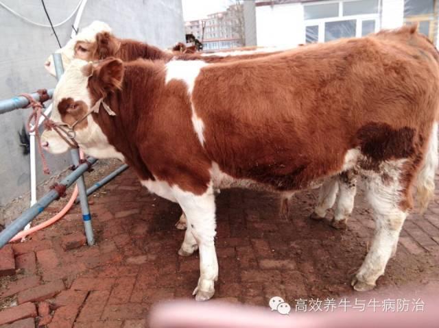 号召养牛新手同伴切勿贷款养牛?