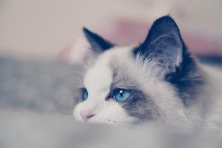 梵色布偶猫的好坏图片