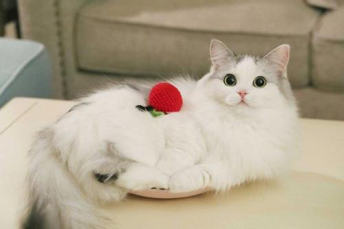 布偶猫好坏图片