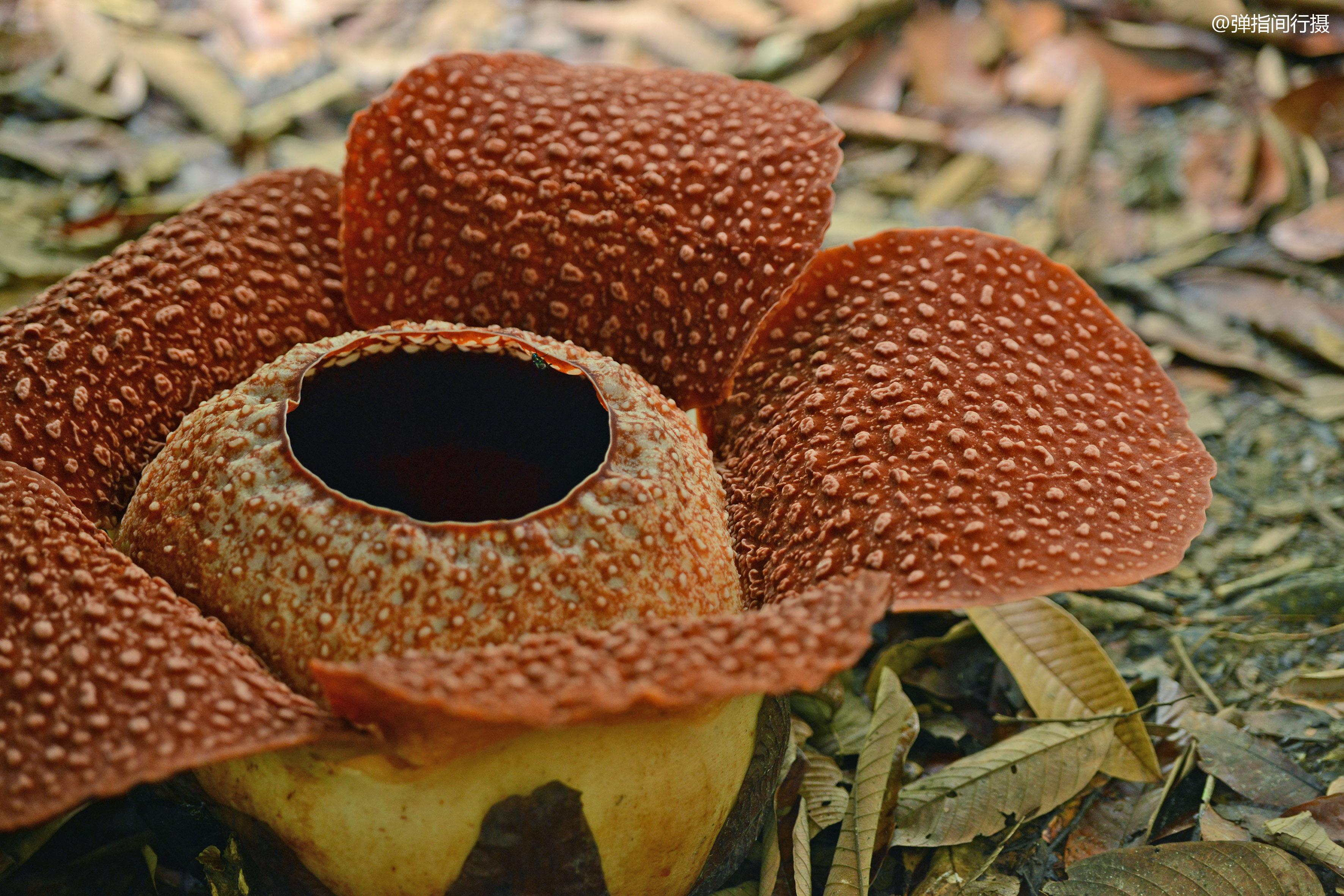 原创             世界上最大的花卉,花瓣直径可达1.4米,生长东南亚最高山峰上