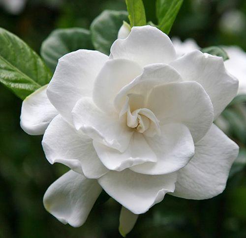 成都马克花艺|洁白如雪、清丽可爱的它代表着一代人的青春记忆!