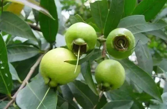 150元/斤!农村这种水果随处可摘。