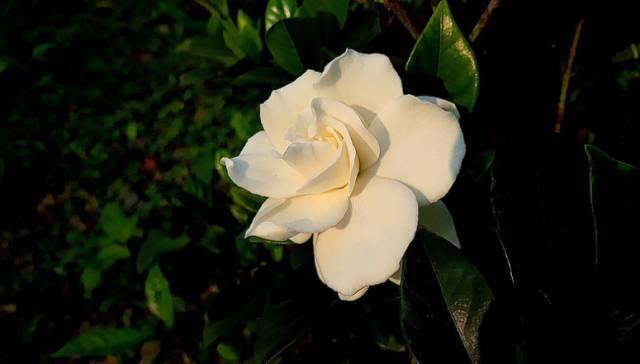 成都马克花艺|洁白如雪、清丽可爱的它代表着一代人的青春记忆!_栀子花