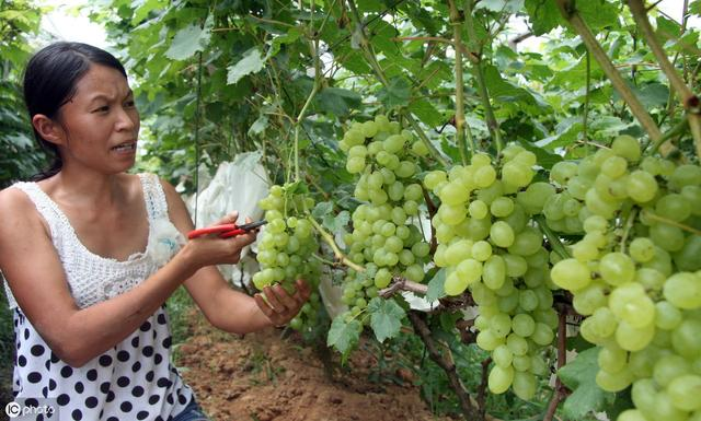 青提葡萄号称具有抗氧化抗衰老等养生神效,此水果到底能否抗癌?