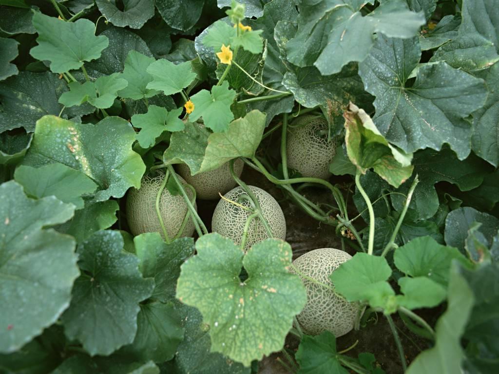 青瓜和黄瓜怎么分辨 凉瓜和苦瓜有区别吗 搞不懂容易闹笑话