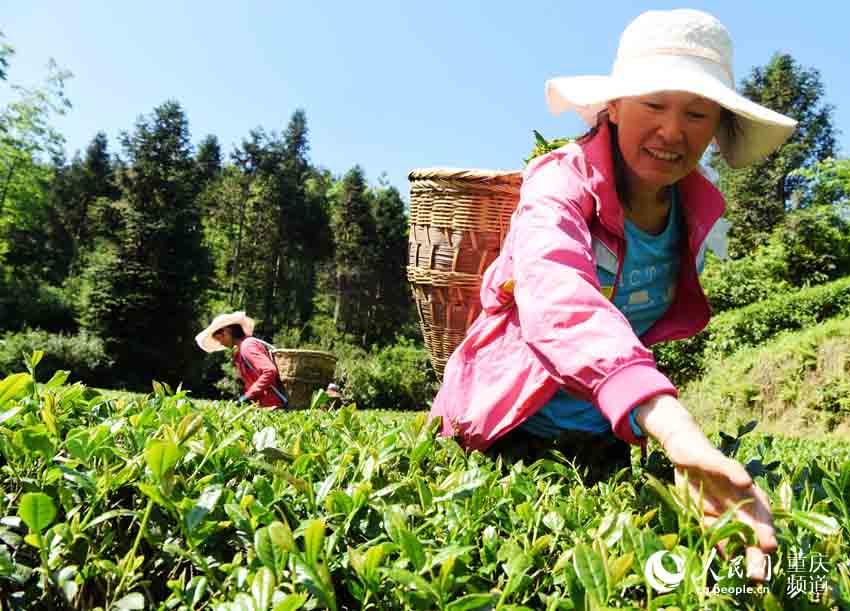 重庆酉阳:高山采茶忙_木叶乡图片