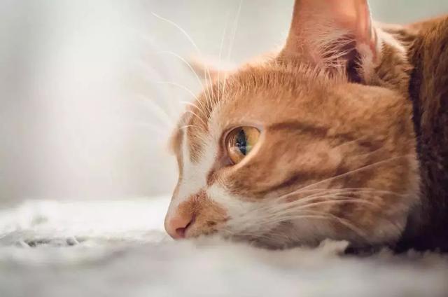 猫咪脂溢性皮炎怎么治图片