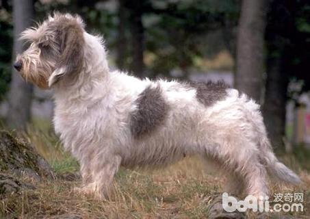 贝吉格里芬凡丁犬怎么样 贝吉格里芬凡丁犬介绍
