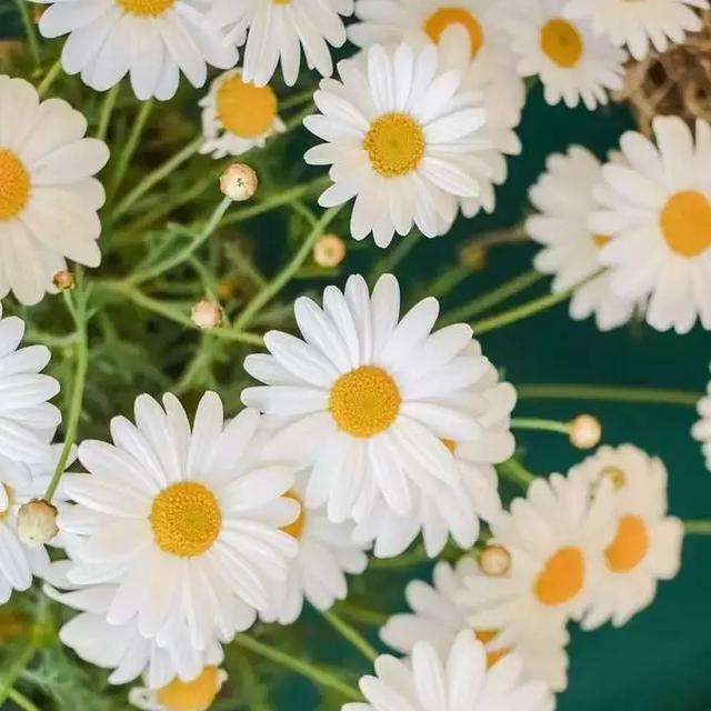 雏菊花的养护,雏菊早春开花,生气盎然,具有天真... _网易视频