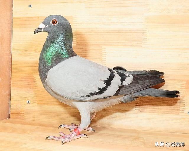 幼儿鸽图片图片图示鸟大全640_512动物长颈鹿手工鸽子鸟类图片大全大全教学图片
