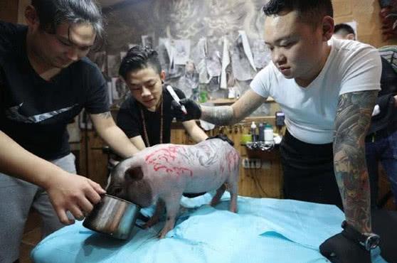 宠物猪被带去纹身,浑身散发着黑帮老大的气质,网友:好心疼它