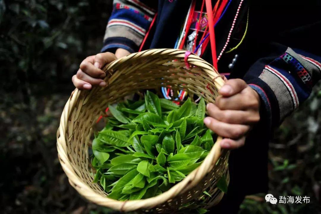 云南茶区大旱,这些茶树防旱抗旱技术你了解下?