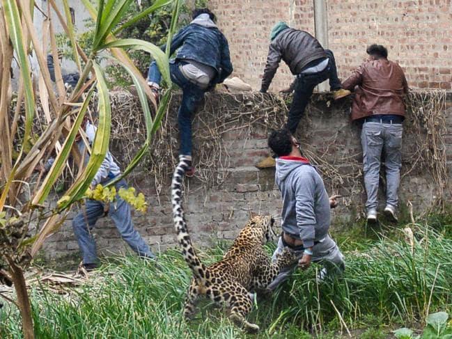 环境变化导致食人虎、食人豹数量增加,虎豹:不吃人我就会饿死