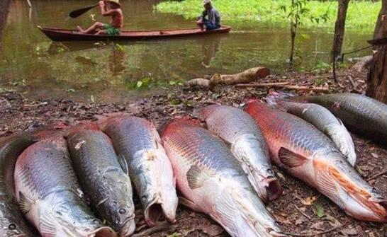 世界上最笨的鱼,经常往渔船上跳,因政府立法保护才能生存