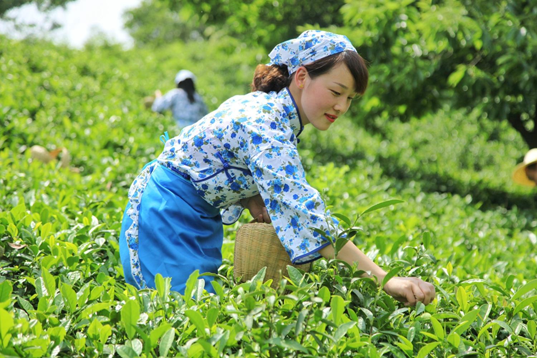 <b>中国名茶,亩产三斤需要24万颗嫩芽,卖多少你觉得最合适</b>