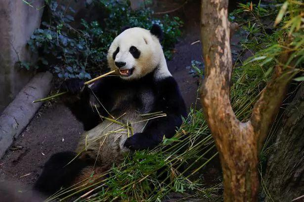 中国此时让大熊猫回国,美国人:不要走啊啊啊