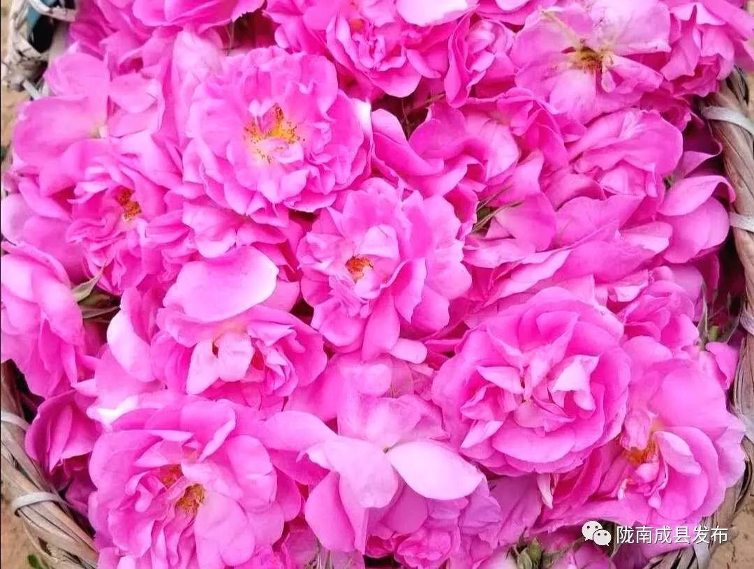 成县这个地方玫瑰花开得正艳,弥漫在山间,沁人心脾…