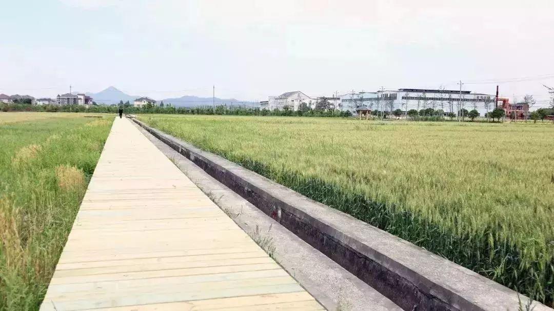 美丽乡村 | 麦子抽穗 白墙黛瓦! 这是焕然一新的永安村!