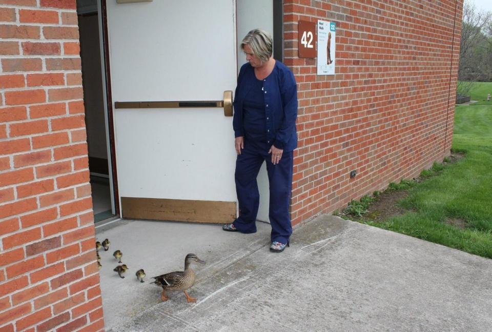 原创 幸运鸭妈妈每年回纽约医院下蛋,在医务人员的欢送下,带娃离开