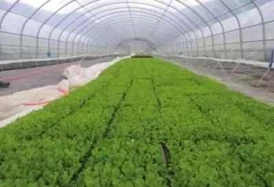兰州永登这个村成了香港人的菜园子