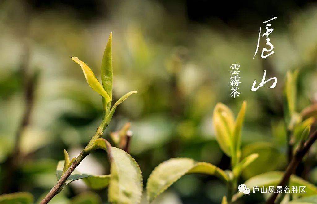 """坐拥""""天下第一泉""""与""""中国十大名茶""""的庐山"""