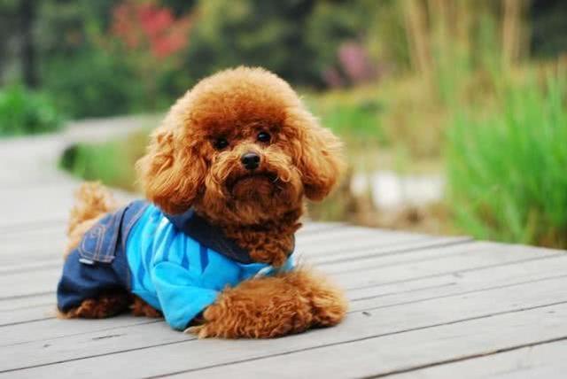 宠物狗的种类,人气很高的几种小型宠物狗