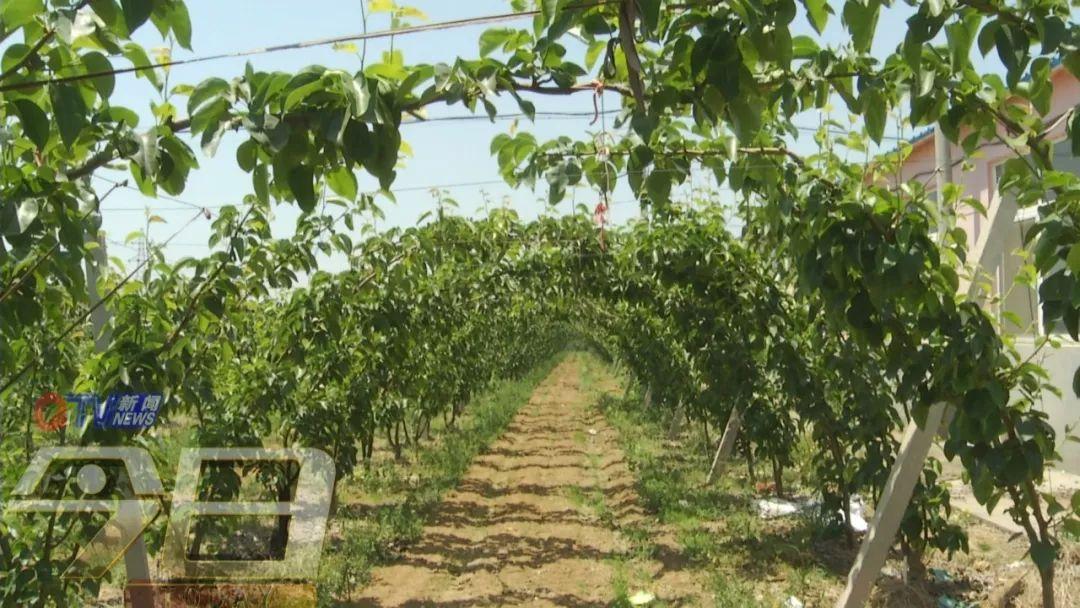 莱西百亩梨树要绝产,果农欲哭无泪!花粉惹的祸?