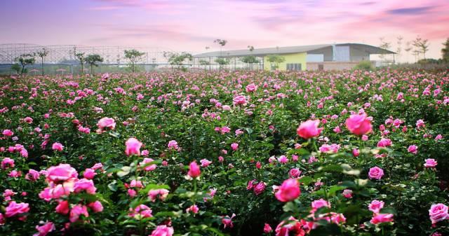 周六招募:玫瑰花开,亲子自然课堂