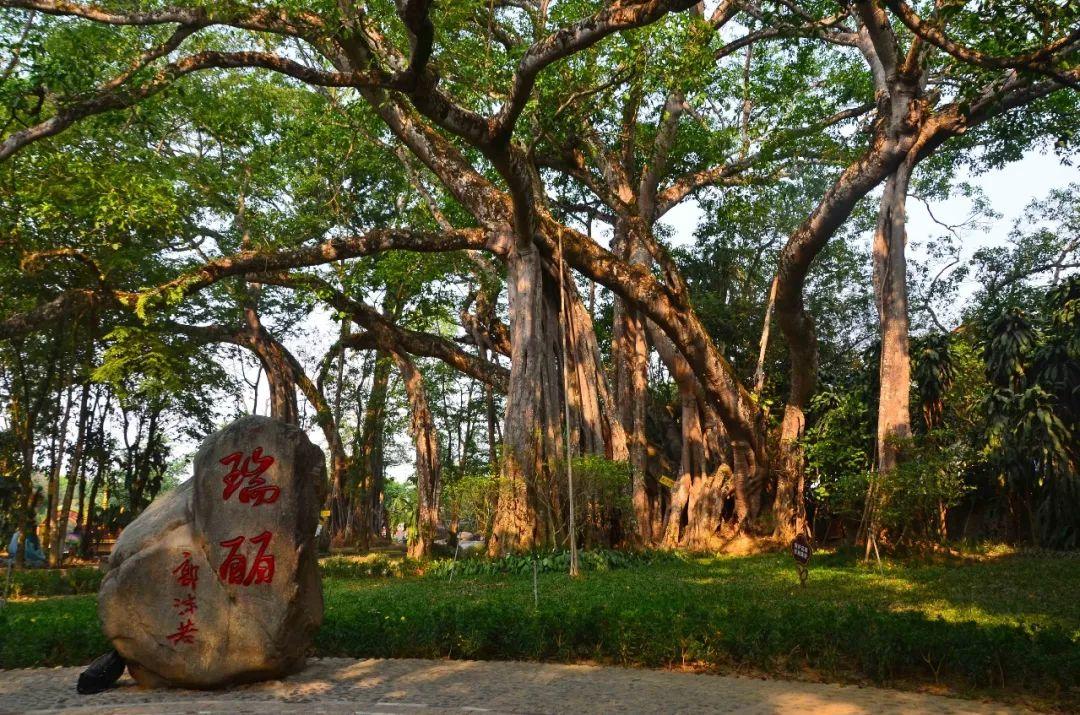 瑞丽独树成林门票_云南与缅甸交界有个地方,一棵树撑起一个景点,门票15元,值不