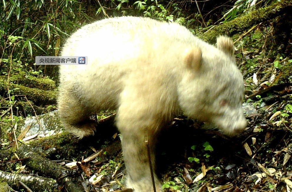 四川卧龙拍摄到全球首例白色大熊猫