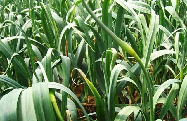 大蒜 放到水里能长出蒜苗的原理_大蒜怎么用水发蒜苗