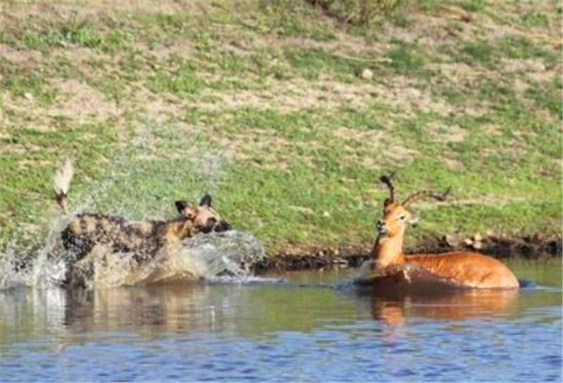 羚羊差点儿被野狗吃掉,不过这后台是真硬,河马找上来算账儿!