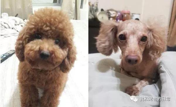 <b>萌贵宾去了1趟美容院回来,不敢相信这是同一只狗狗!</b>