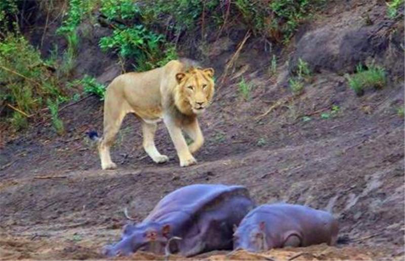 两只河马正在睡觉,狮子刚准备偷袭正赶上小河马醒了,这结局!