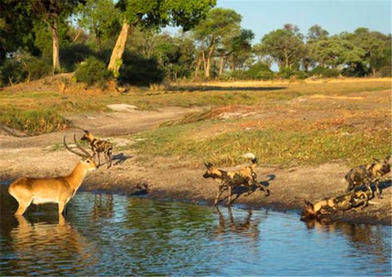 挨千刀的鬣狗又出来这样欺负羚羊,不过最后却遭到野狗教训!