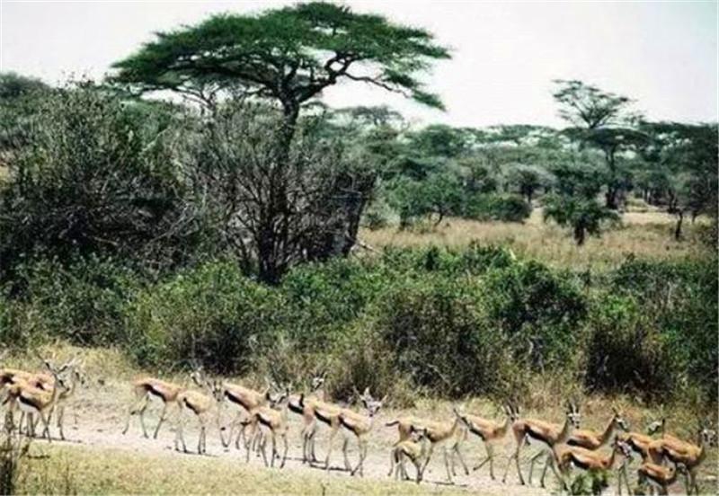 几百只羚羊经过,狮子一口气儿杀死五只,还藏到水中,真心机!