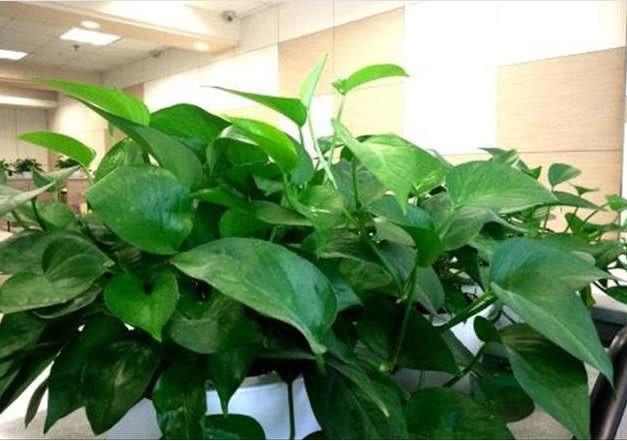 """绿萝不爆盆?在5月份用上""""3招"""",呼呼冒新芽,30天长成绿瀑布!"""