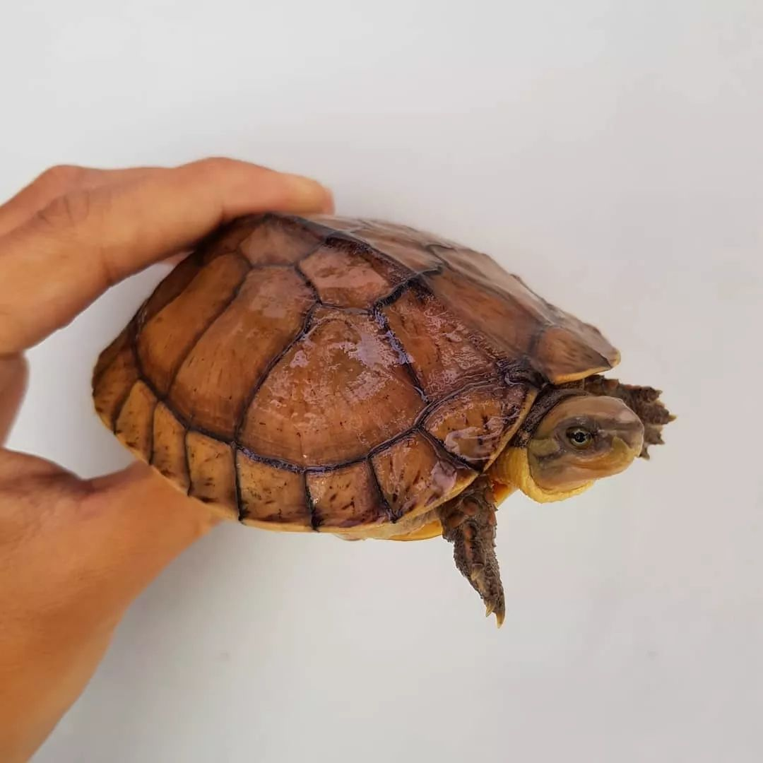黄喉拟水龟苗的饲养_黄喉拟水龟 | 龟中的治愈系小天使
