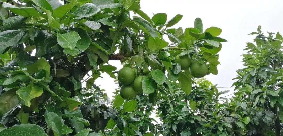 土壤不改良,施肥也白忙,祥云健康肥助力平和县蜜柚生产增收致富!