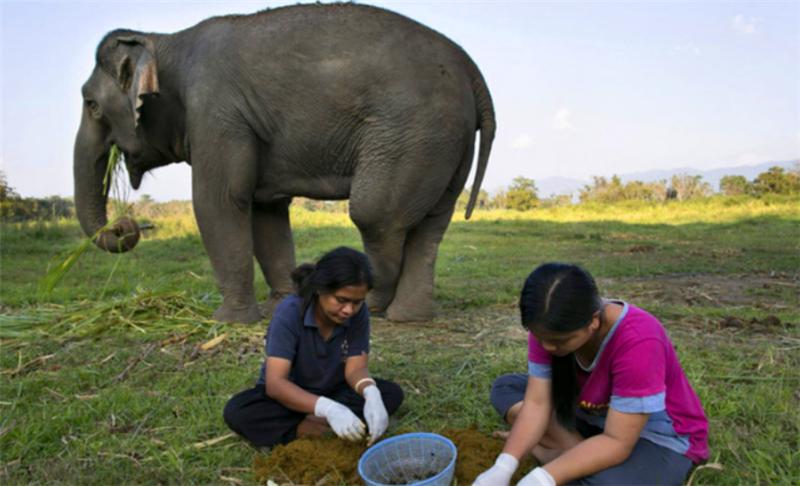 这里的大象只负责吃东西,然后随地排便,还有专人为它们挑粪呢