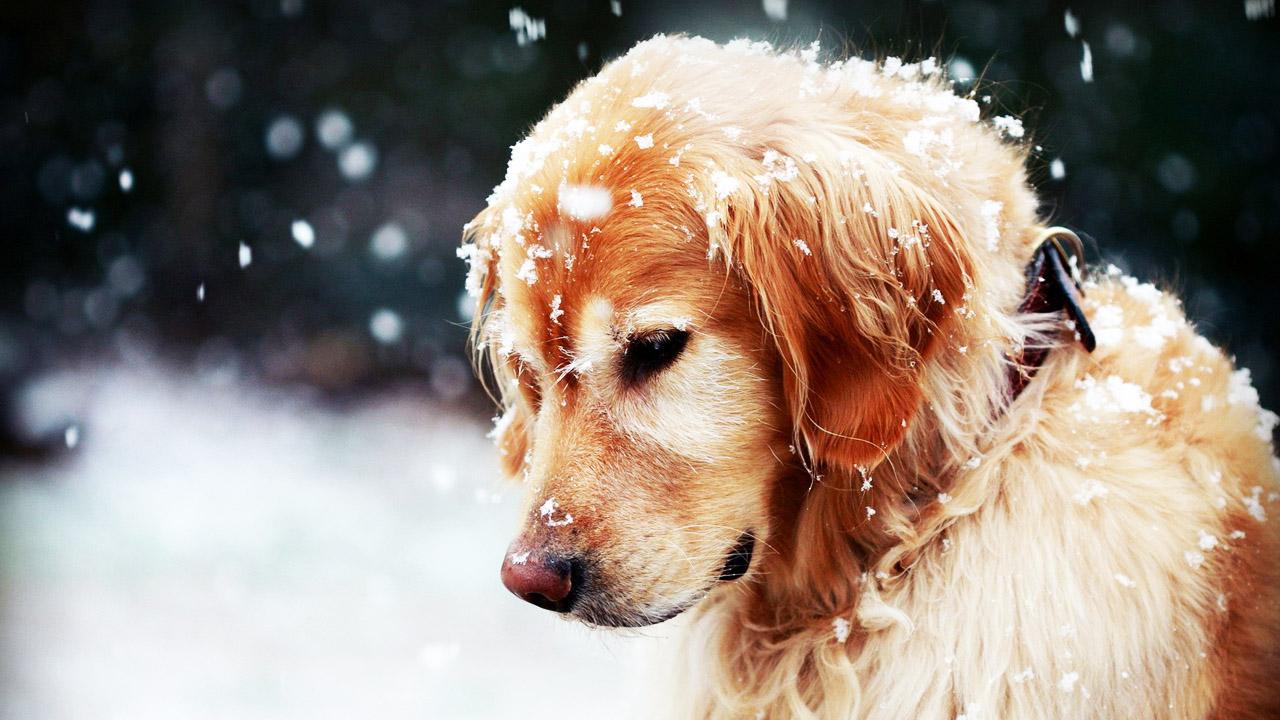 世界最聪明的狗_3个月的金毛800元 养殖场直销一出售各类宠物一