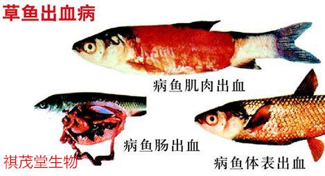 草鱼赤皮病和烂鳃病怎么治_淡水鱼鱼病图谱_有给淡水鱼治病专家电话吗