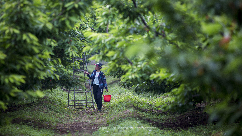 乡村旅游网:樱为有你,西集采摘季遇到樱桃界的爱马仕