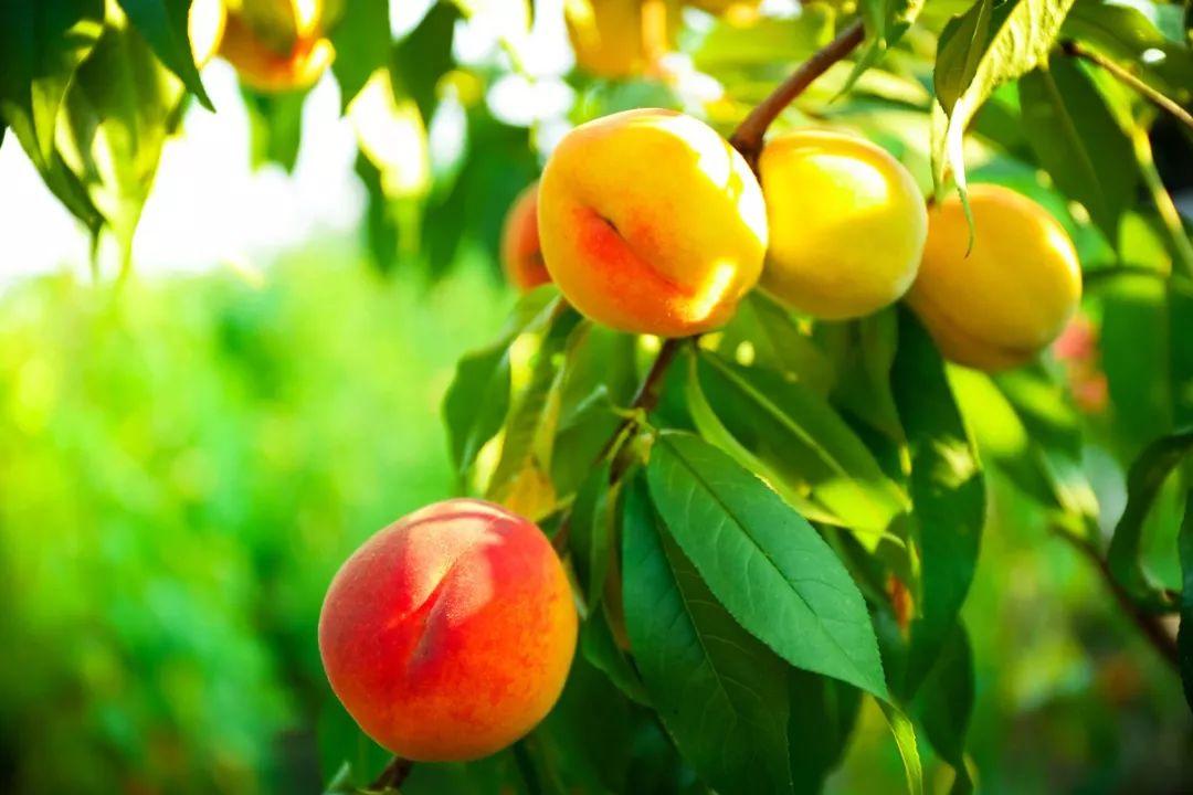 除了桃子叶之外,芦荟精华,甘草精华和尿囊素的添加,都让桃子水的成分图片